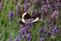 Butterfly Lavender #2121
