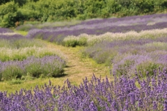 Field Lavendar Path #3013