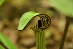 Flower Jack in Pulpit #3205