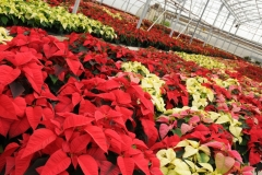 Flowers Poinsettia Garden Centre 1 #2255