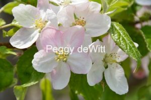 Apple Tree Blossom #3057