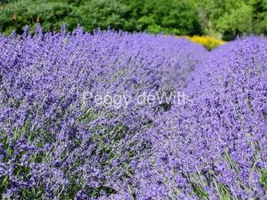 Field-Lavender-Big-Rows-3686
