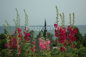 Flowers-Hollyhocks-St-John-1598.JPG