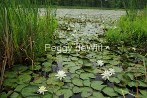Flowers-Lily-Pad-Marsh-1664.JPG