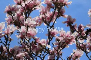 Flowers-Magnolia-Tree-3231.jpg