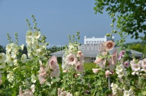 Flowers Hollyhocks Winery Roof #3224