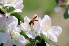 Apple Blossom Bee #3526