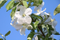 Apple Blossom Blue Sky #3119
