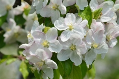 Apple Blossom Cluster #3120