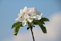 Apple Blossom Sky #3122