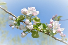 Apple-Blossoms-Vingette-3643