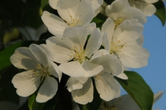 Apple Blossoms White #1673
