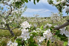 Apple Orchard Blooming #3051