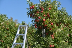 Apple Orchard Ladder #3054
