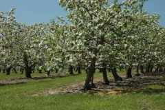 Apple Orchard Spring #1512
