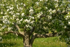 Apple Tree Blooming #3055