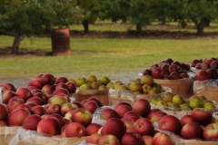 Apples Basket Orchard #1987
