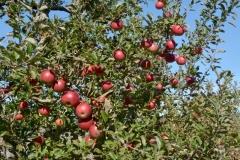 Apples Grant #3527
