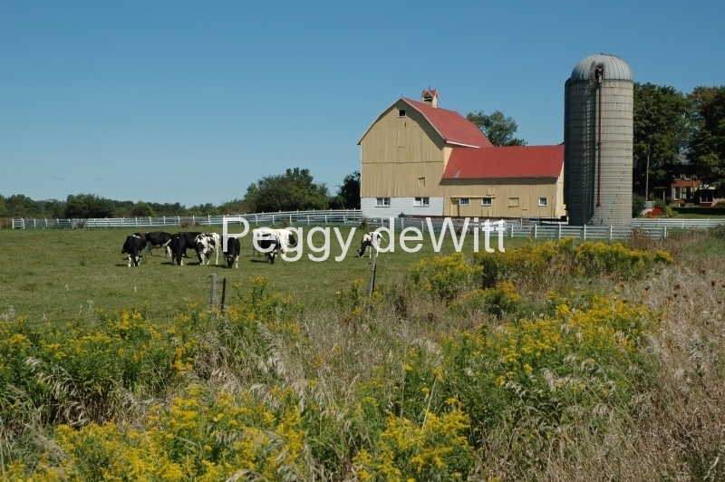 Barn Yellow Cows #2777
