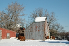 Barn Beef Cattle Winter #1516