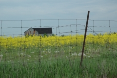Barn Canola Field #1797