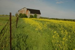 Barn Canola Yellow Field #1793
