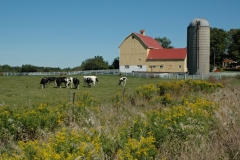 Barn Cows Goldenrod #2765