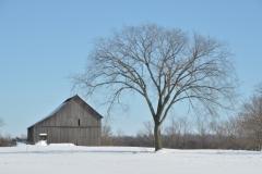 Barn Elm Tree Winter #3069