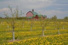 Barn Henrys Dandelions #3070