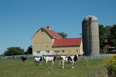 Barn Yellow Cows #2856