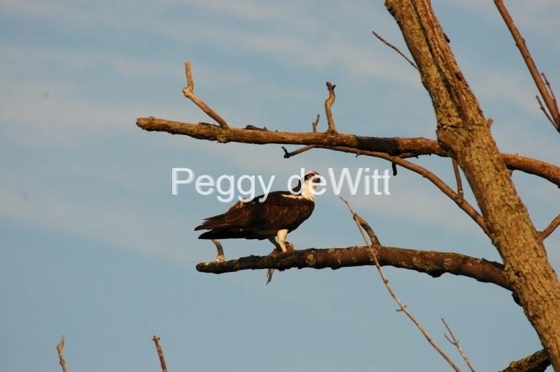 Bird Hawk #2935