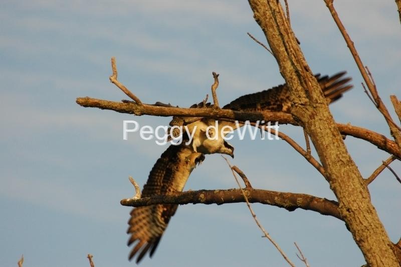 Bird Hawk Fish #2934