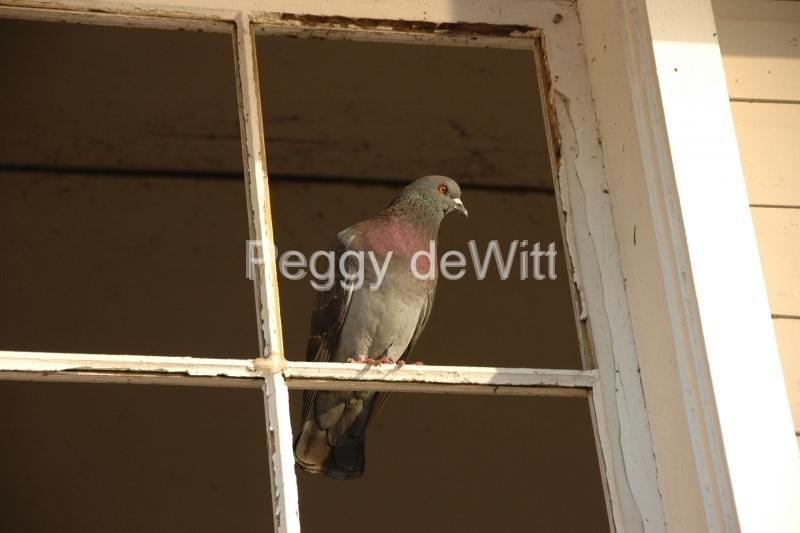 Birds Pigeon Window #3114