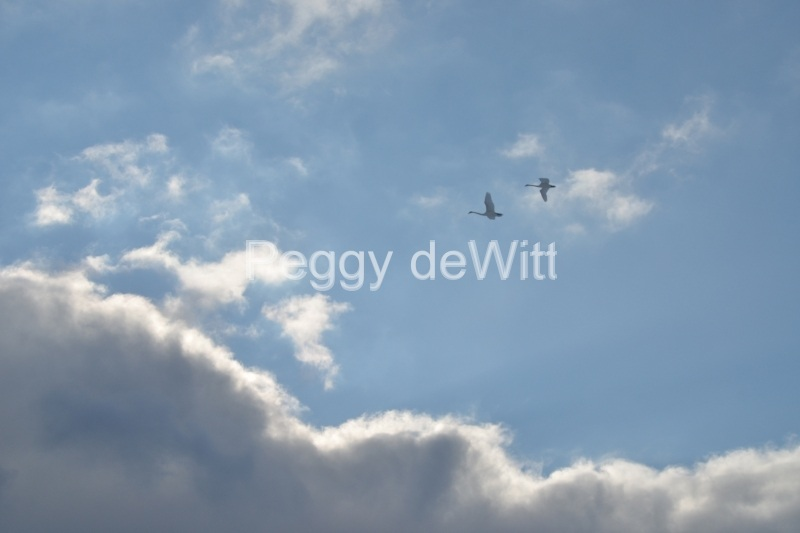 Birds Swans Clouds #3141
