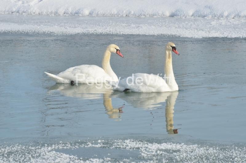Birds Swans Winter Closeup #3115