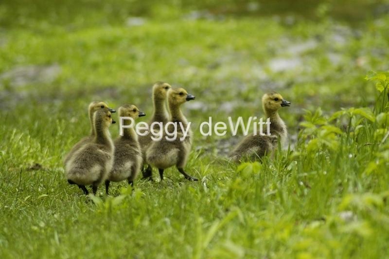 Geese Goslings #1104