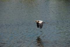 Bird Blue Heron Flying #2471