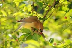 Bird Cedar Waxwing #2752