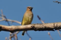 Bird Cedar Waxwing #2932