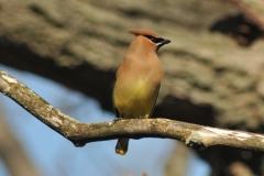 Bird Cedar Waxwing #2933