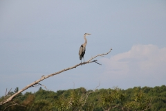Bird Great Blue Heron #3136