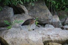 Bird Green Heron #3138
