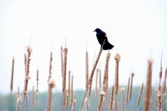 Bird Red Winged Black #3140