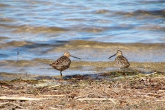 Bird Short-Billed Dowitcher #3533