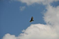 Bird Turkey Vulter #2937
