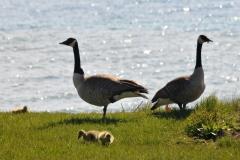 Birds Canada Geese #2939