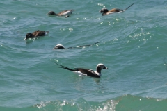 Birds Ducks Pt Petre #2940