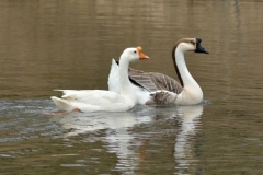 Birds Geese Glenwood #3113