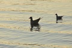Birds On Water #2977