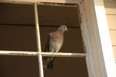 Birds Pigeon Window #3114